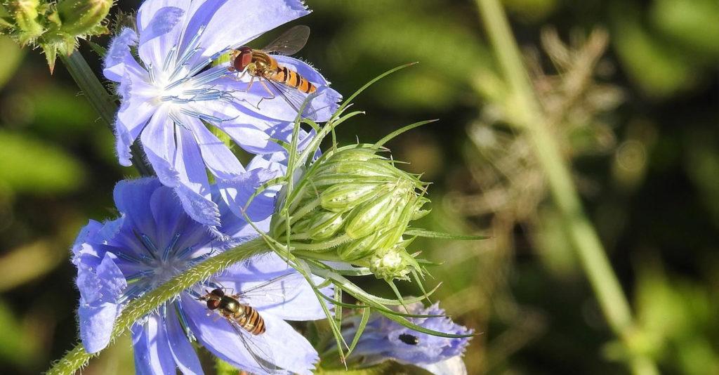 wildbiene-honigbiene